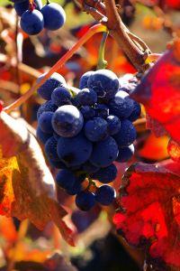 Autumn Vineyard, by Stasi Albert