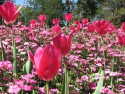 tulips - photo by Sara Lambie